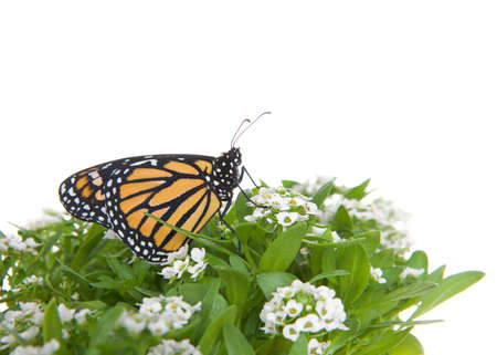 Close up of one Monarch Butterfly on white alyssum flowers, profile view. Isolated on white.