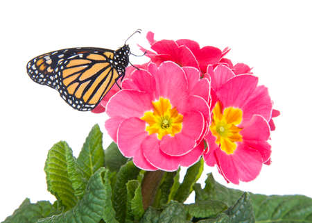 Close up of one Monarch Butterfly on pink primrose flowers with yellow centers, profile view. Isolated on white.