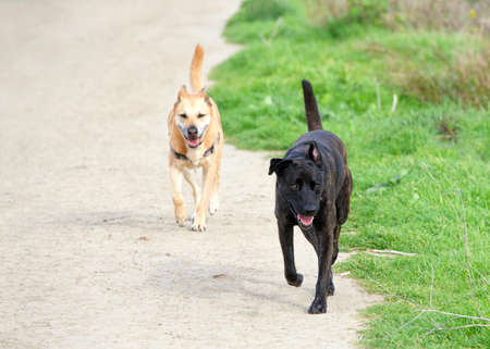 One black Labrador and one brown Labrador dog running down a gravel path through green grass Banque d'images