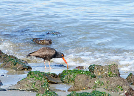 oystercatcher pulling food from sand on a rocky beach. A conspicuous black bird found on the shoreline of western North America, the black oystercatcher is a species of high conservation concern.