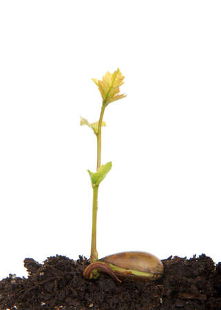Oak tree saplings recently sprouted from seed, seed still attached splitting open as roots form. Acorn seed laying on brown soil with tree sprout isolated on white. Banque d'images