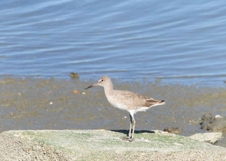 One Willet, a relatively large and robust sandpiper, standing on a flat rock in front of a pond of water having just defecated