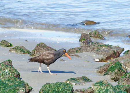 oystercatcher walking on a rocky beach. A conspicuous black bird found on the shoreline of western North America, the black oystercatcher is a species of high conservation concern.
