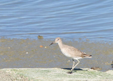 One Willet, a relatively large and robust sandpiper, standing on a flat rock in front of a pond of water Banque d'images