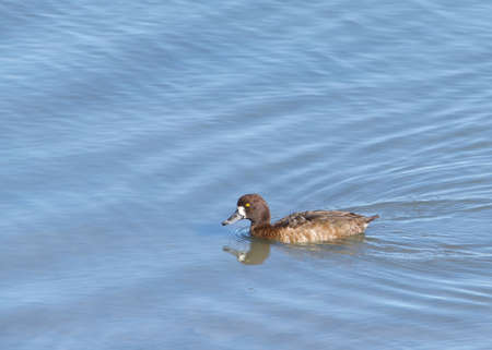 One female diving duck, commonly called pochards or scaups, aggressively searching for food just below the surface of an estuary. Banque d'images