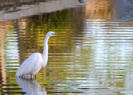 Adult Great Egret in breeding plumage standing in a shallow urban pond looking for food.