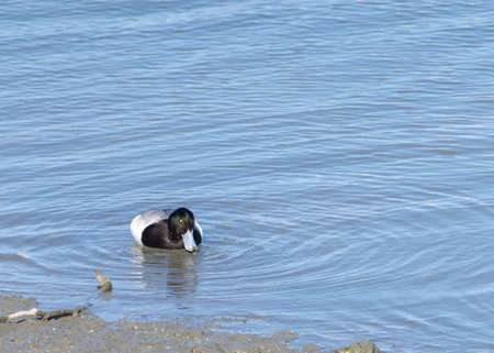 One male diving duck, commonly called pochards or scaups, aggressively searching for food just below the surface of an estuary.