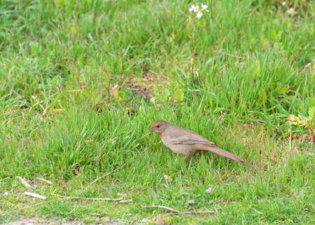 One Canyon Towhee bird in green grass. Its natural habitat is brush or chaparral.