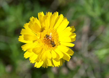 Close up of one honey bee on a Yellow  Baileya Multiradiata, or Desert Marigold, Flower collecting pollen. Green leaves in background OOF.