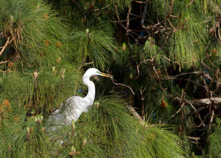 Adult Great Egret in breeding plumage perched high in Ponderosa Pine tree, profile view looking to viewers right holding a stick in it's beak for nest building.