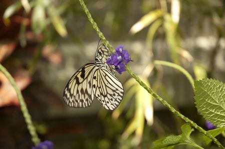 conservatory: Butterfly extracting nectar from flower in conservatory Stock Photo