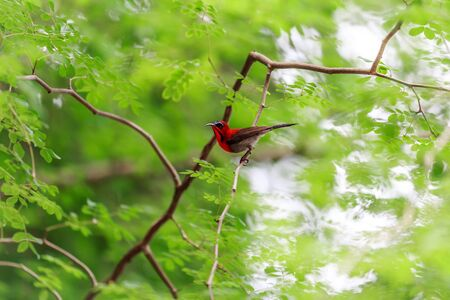 sunbird: Crimson sunbird