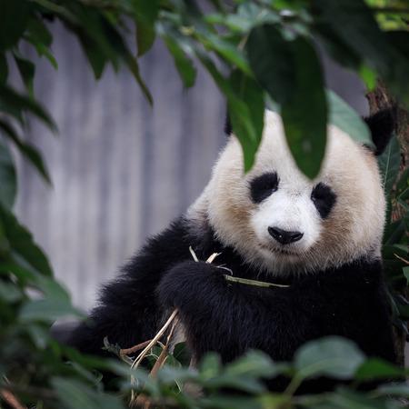 resting: resting panda