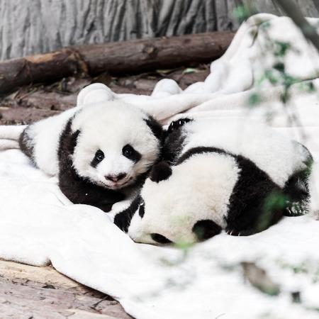 oso panda: pequeños bebés panda