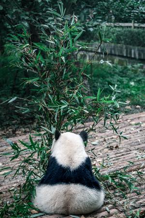 panda's terug