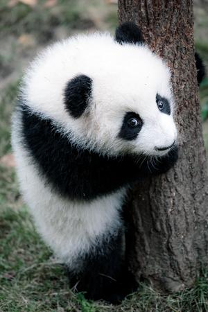 pequeño panda lindo