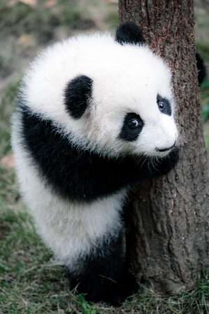 oso panda: pequeño panda lindo Foto de archivo