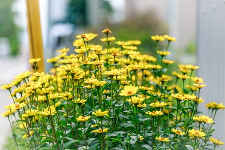 daisys: little yellow daisy