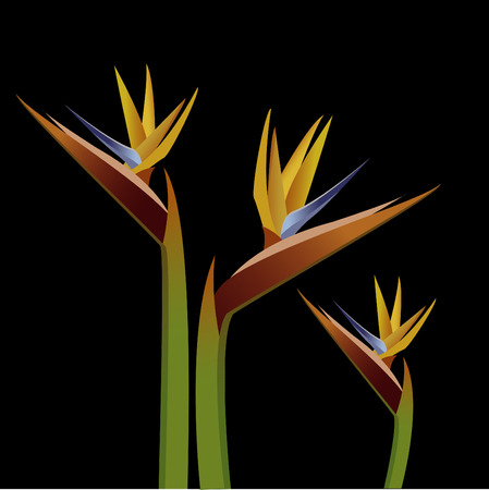 bird of paradise flower: bird of paradise.  Illustration