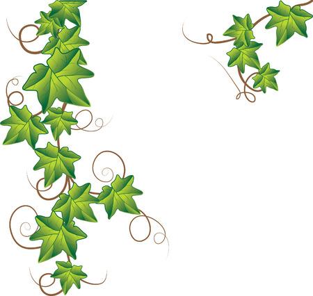 Bluszcz zielony.  Ilustracje wektorowe