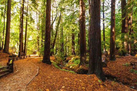 Beautiful Ancient California Redwoods In Big Sur