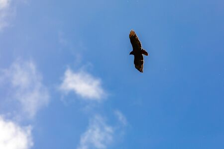 A Turkey Vulture Takes Flight Above Big Sur In California Stock Photo
