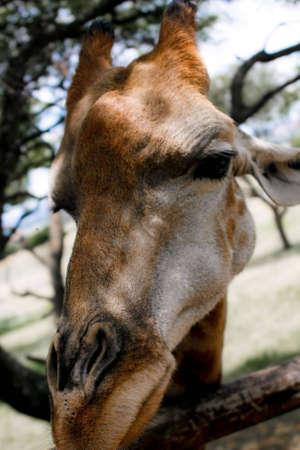 A closeup of a Giraffe looking guite pretty Stock Photo - 7050112