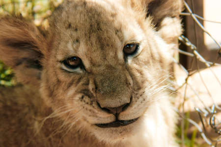 A lion cub grinning at the camera Stock fotó