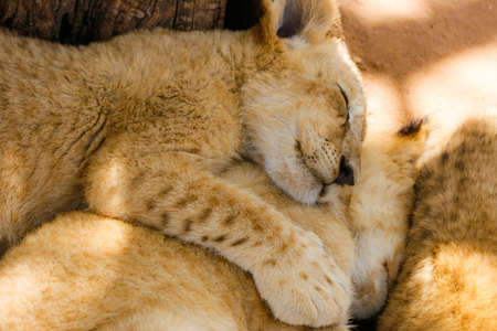 catnap: A pride of lion cubs cuddling up to each other during nap time