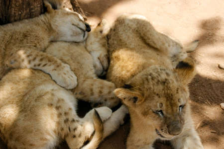 catnap: Pride of lion cubs relaxing in the shade of the bush Stock Photo