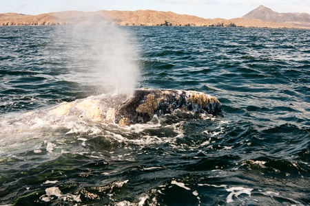 Close up of a whale Blowing Water at Magdalena Bay Mexico