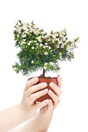 Chamelaucium uncinatum  photo