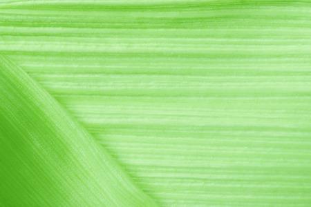 Green Corn leaf. Nature background Stock Photo