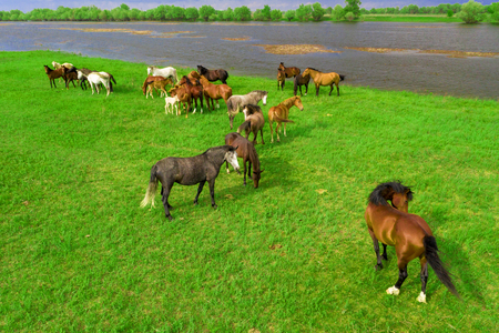 Horses grazing in a meadow next to a river. View from above. Banque d'images