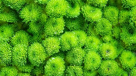 Green chrysanthemum as background picture. Chrysanthemum wallpaper Reklamní fotografie - 125327034