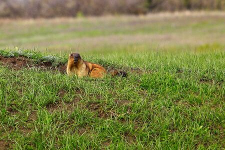 Closeup little Marmot in front of habitat in grassland. Saratov region, Russia