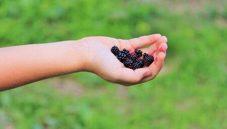 Child s hand holding freshly picked blackberries