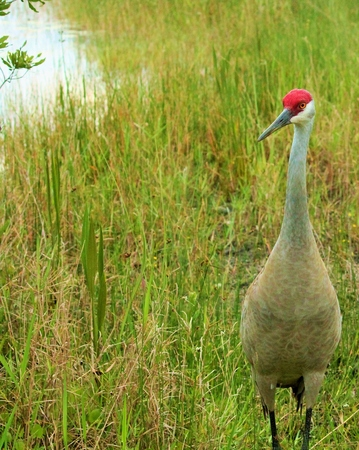 sandhill crane: Sandhill Crane