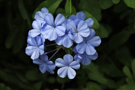 Purple Plumbago