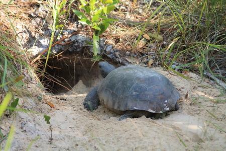land shell: Gopher Tortoise