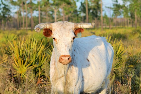 Florida Cracker Cattle