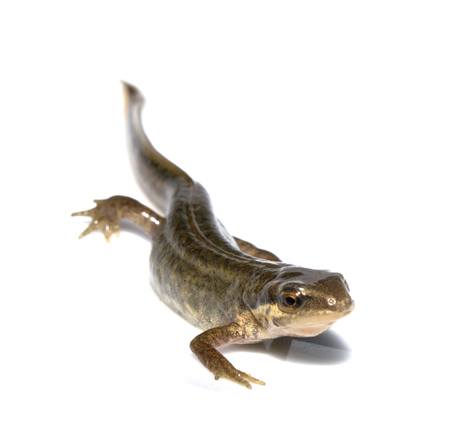 newt: Close Up of Smooth Newt On White Background