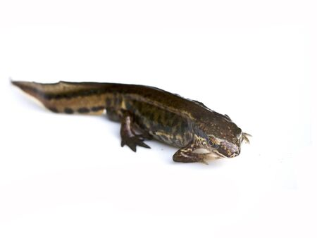 Close Up of Smooth Newt On White Background