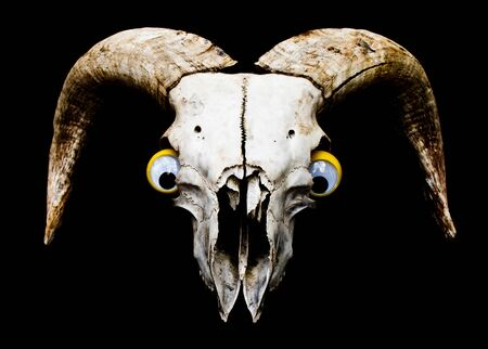 Close Up of an Animal Skull on Plain Background Horror Halloween