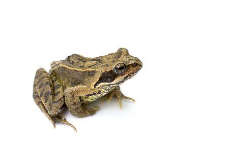 British Wild Frog Amphibian Stockfoto