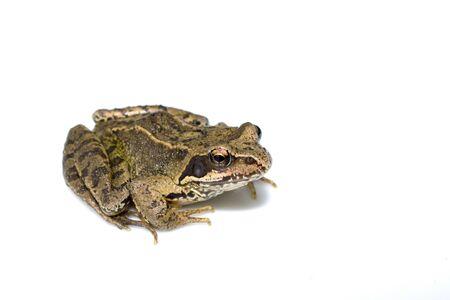 British Wild Frog Amphibian