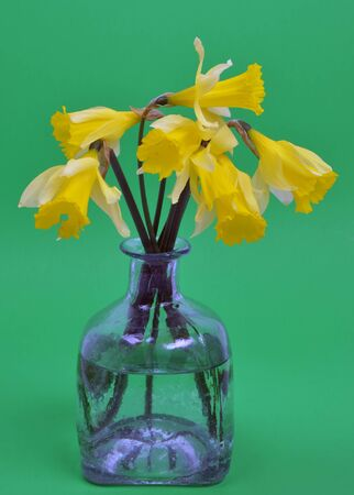 Narcissus pseudonarcissus (daffodil) on green photo