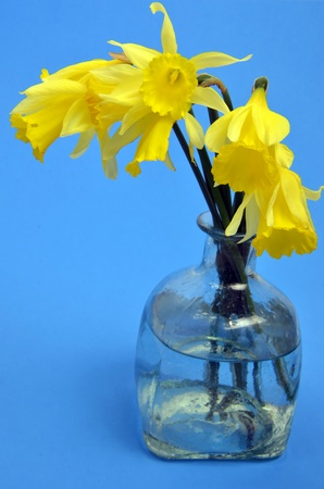 Narcissus pseudonarcissus (daffodil) on blue photo