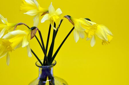 Narcissus pseudonarcissus (daffodil) on yellow photo