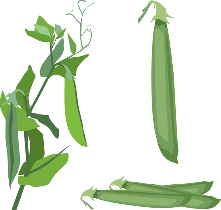 Illustration of a pea pod, climbing plant 矢量图像